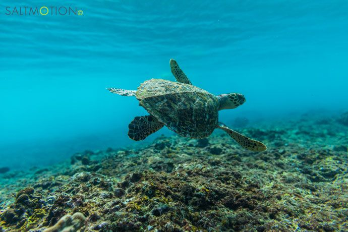 Turtles in the Maldives! Underwater photography by Joel Coleman. Prints available through Saltmotion Gallery