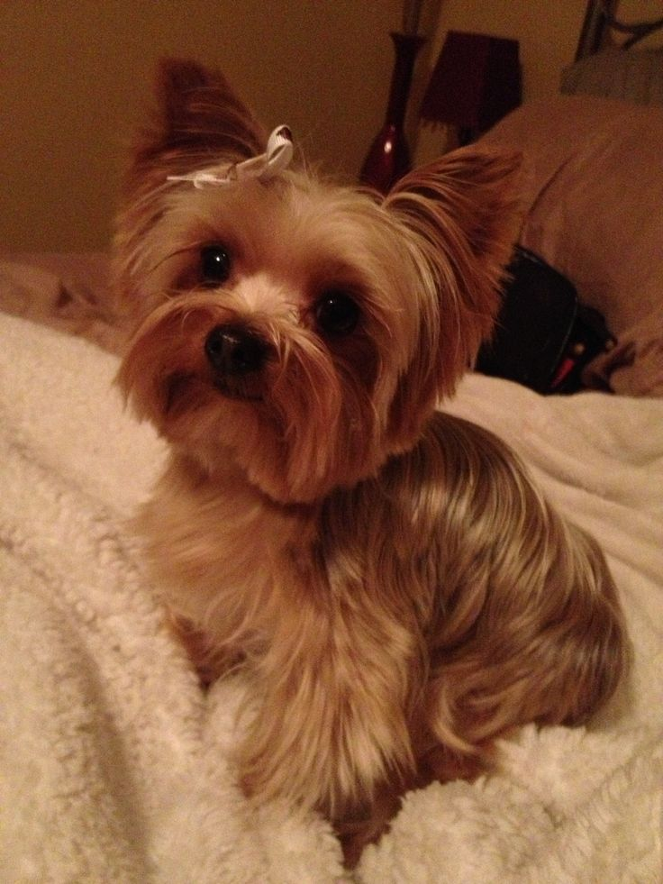 83 Best Yorkies Images On Pinterest Dogs Little Dogs And Cute Dogs