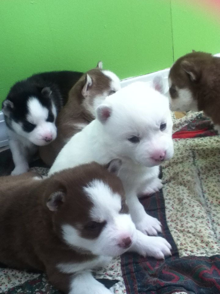 Husky puppies for sale email me at alma.gabriela96@gmail.com if you are interested and have any questions!