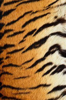 Siberian Tiger Fur