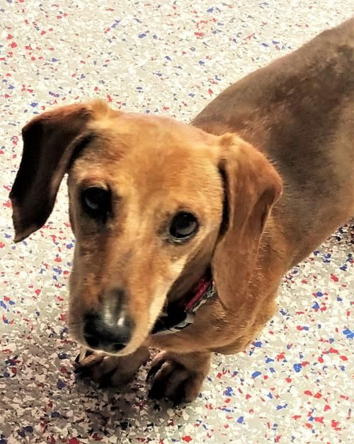 Hi I'm DJ ! Santa say all you asked for was a #sweet #senior #dachshund brother for your #dog ! I say great ! I'm that boy ! You get my #adoption papers filled out and the fun will begin !