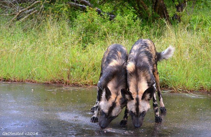 Wild dogs at Kruger National Park South Africa. #SAdvrstyEcoTour http://geogypsytraveler.com/2014/03/29/curious-wild-dogs-kruger-national-park/