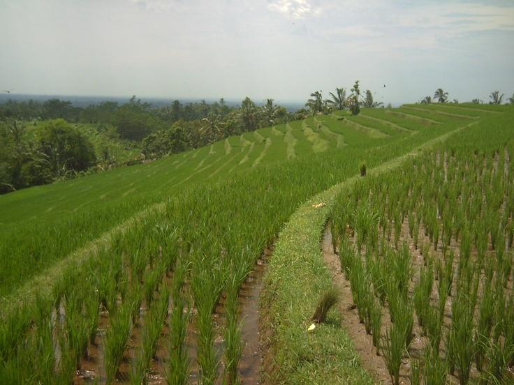 Rice paddy field at Munggu, north of Bali.