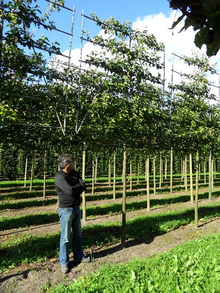 Pleached & Form Trees Photo Gallery - Hedgeworx