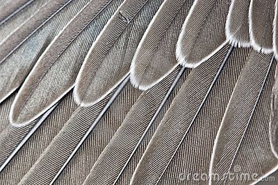Wing-feathers by Vasiliy Vishnevskiy, via Dreamstime