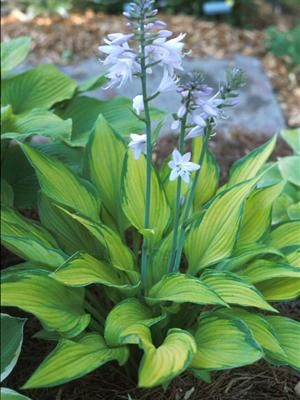 "Paradise Power Hosta | Pictured is a young version of this Hosta. Mature versions have a height of 20"", a spread of 60""  Part-Full Shade.  It will become a very striking and distinctive Hosta."