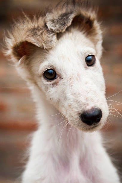 Borzoi puppy looking at camera