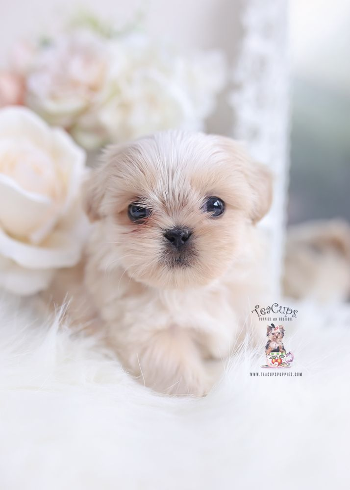 Shih Tzu Puppy For Sale Teacup Puppies 049 A In 2020 Cute Dog