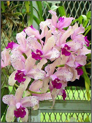 Cattleya Amethystoglossa Colibri~OrquidaRio - Exposições