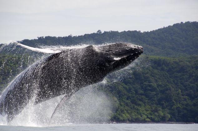 Pacifische kust · Panama - Walvis