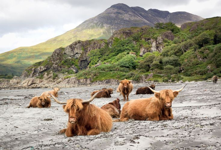 "<span>Highland cattle gather on a beach at Laggan Bay, Scotland. </span>Original <a href=""https://www.flickr.com/photos/zambog/14849115278/"">here</a>."