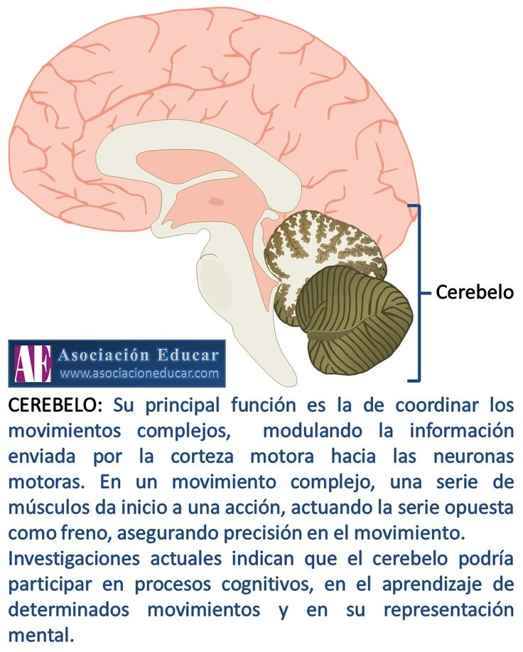 Infografía Neurociencias: Cerebelo. | Asociación Educar