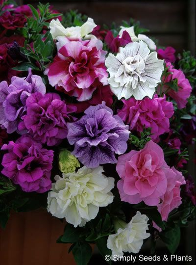 17 best images about balcony flowers on pinterest - Calibrachoa perenne ...