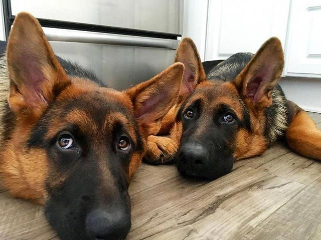 Get Great Pointers On German Shepherds They Are On Call For You On Our Website Mit Bildern Lustige Schaferhunde Schaferhund Welpen Schaferhunde