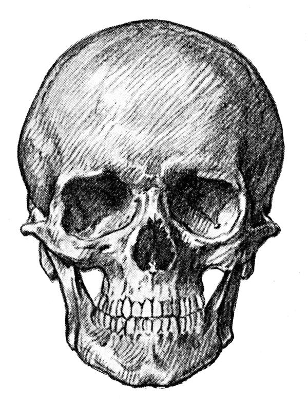 Human Skull - Front View of Adult Skull | Drawings ...