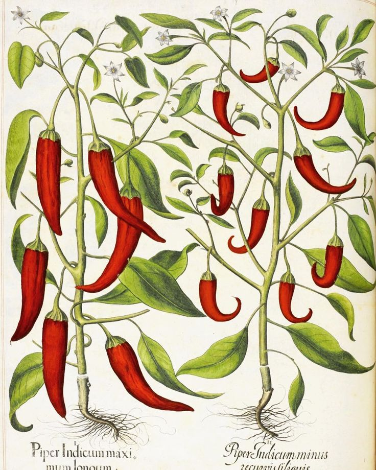 In search of beauty and inspiration on this wild and stormy morning... this gorgeous illustration is from the Hortus Eystettensis a stunning book of botanical drawings from the early 1600s (British Library). Happy Friday   #spicemama #chilli #botanical #art #history #beautiful #inspiration #flashesofdelight #drawing #food #beautifulfood #pursuepretty #livecolorfully #lifeisbeautiful #arttherapy #foodismedicine
