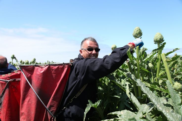 Gus Longo picking artichokes for the very first time!