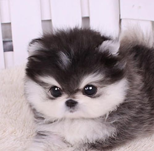 teacup pomeranian husky - Google Search #Pomeranian