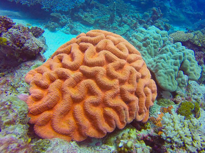 Orange Brain Coral off Lelepa Island, Vanuatu.