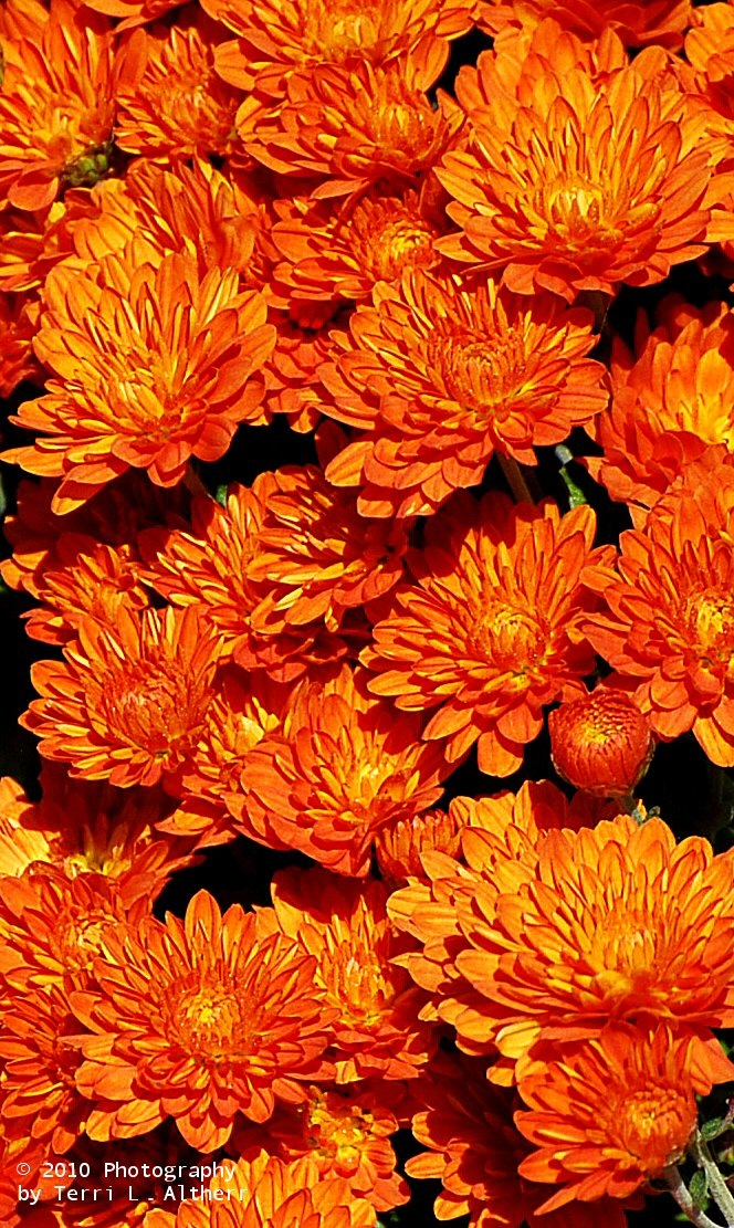 94 best images about mums in my garden on pinterest for Popular fall flowers