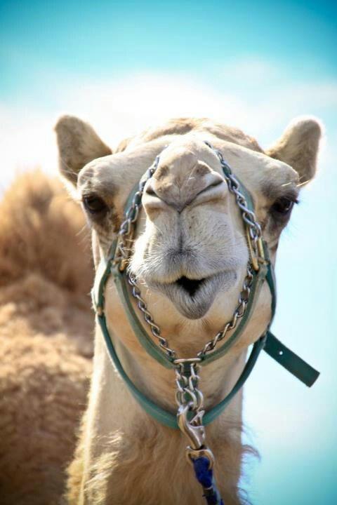 Homework help camel