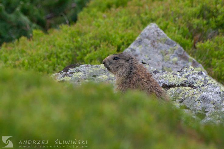 Marmot in the Tatra Mountains. www.sliwinski-foto.eu