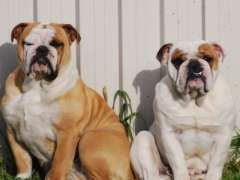 Aussie Bulldog pups | Australian Bulldog puppies for sale kelso New South Wales on pups4sale - http://www.pups4sale.com.au/dog-breed/665/Australian-Bulldog.html