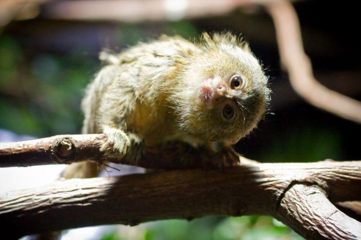 cute Pygmy Marmoset Monkey (DwergzijdeAapje)