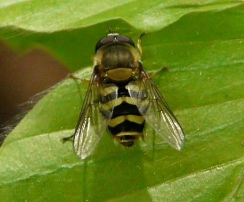 Hoverfly: Epistrophe nitidicollis | Nature Notes from Dorset