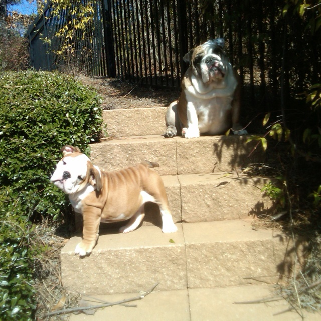 Bulldogs posing: Bulldogs Obsession, Ultimate Bulldogs, Bulldogs Frenchies Bul, English Bulldogs, Bulldogs Rules, Bulldogs Poses, Bulldogs Lovin, Bulldogs Beautiful