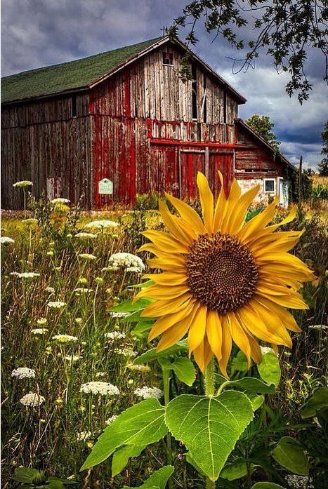 Sunflower Barn