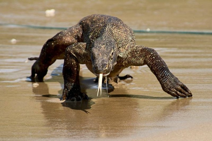A Komodo Dragons saliva teems with over 50 strains of bacteria giving its prey blood poisoning.