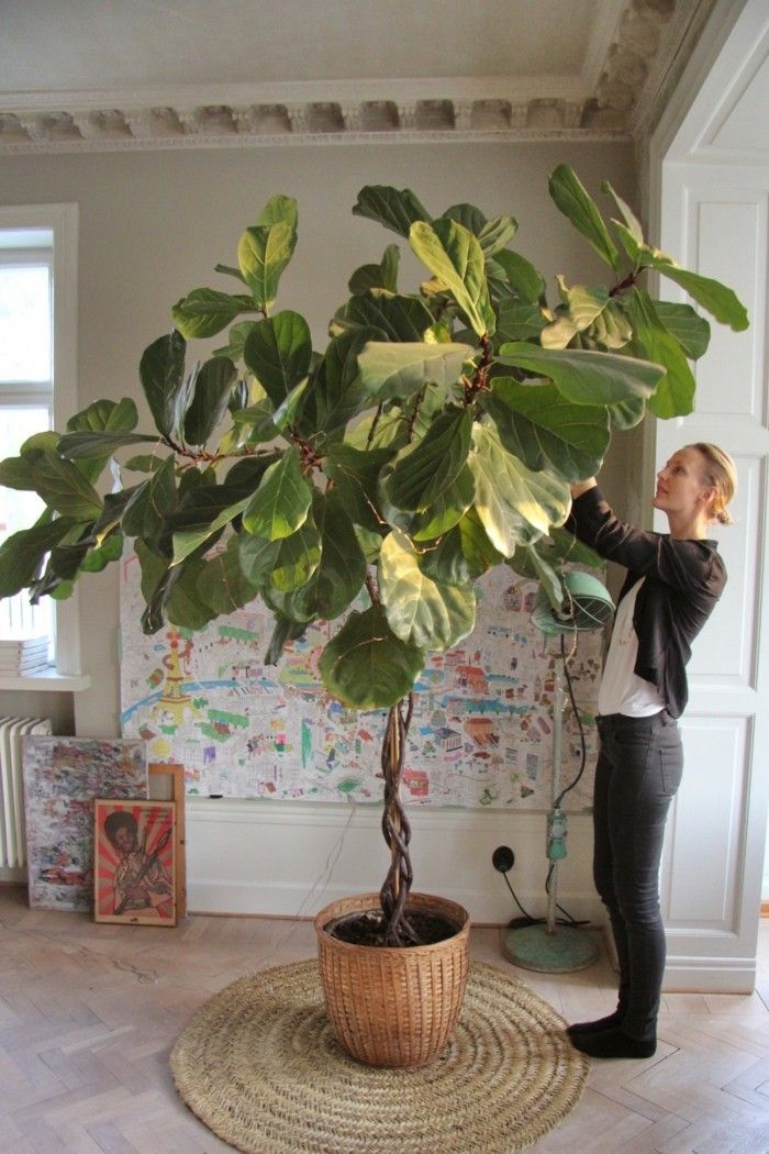 Potted Plants: The Secrets of Violin Fig Care