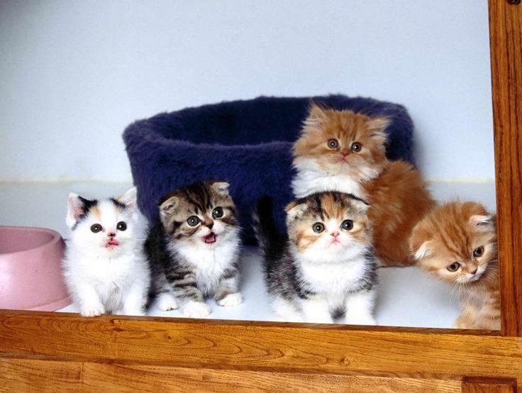Cute Scottish Fold Kittens