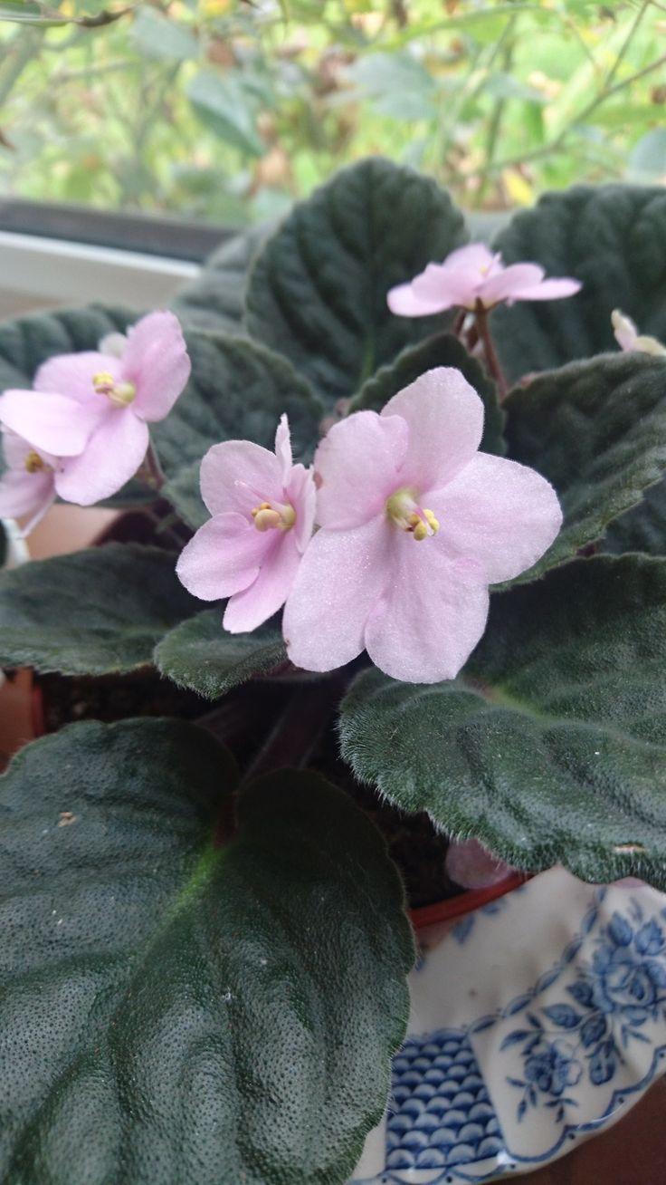 "bloomsandfoliage: ""African violet (Saintpaulia ionantha) """
