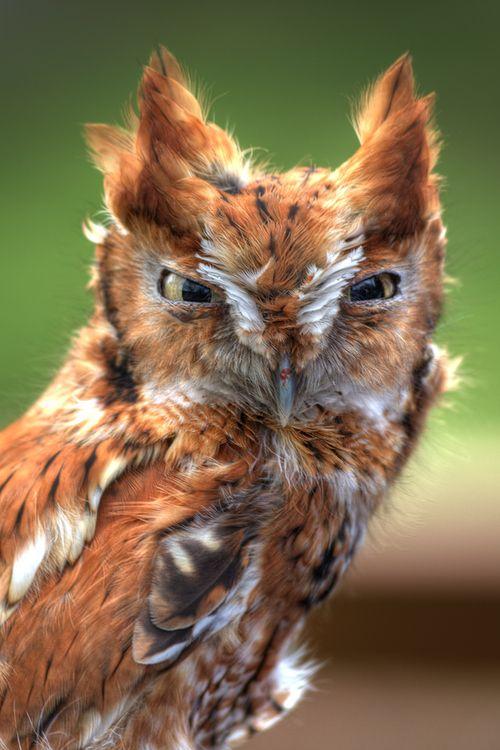 """Ruffled Rufus"" by Omar SandersRuffles Rufus, Omar Sander, Whoos Whooooo, Birds, Angry Owls, Animal, Feathers Friends, Beautiful Owls, Screech Owls"