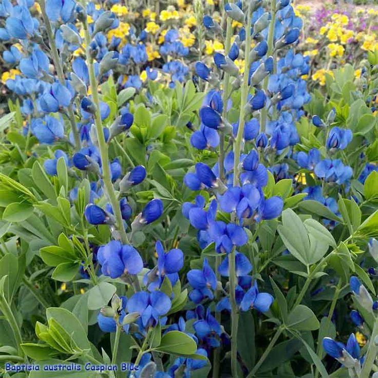 Baptisia australis Caspian Blue