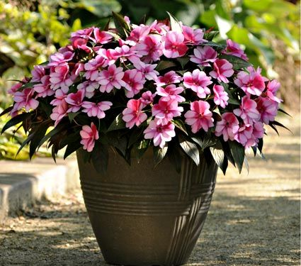 """I love big pots of these around the pool area where they get """"full"""" sun in the summer time.  Sun Impatients"""