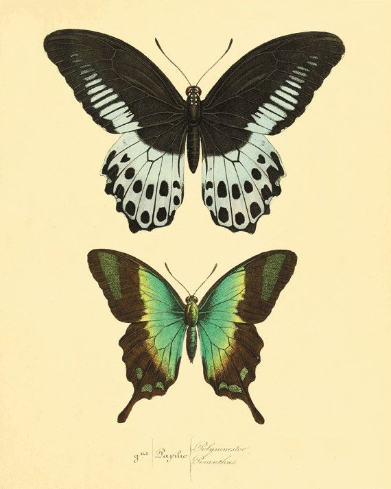 Vintage Green Butterfly Print Nature print Natural History old prints Victorian art 1800s vintage prints Home decor wall art 8x10 art print on Etsy, $10.00