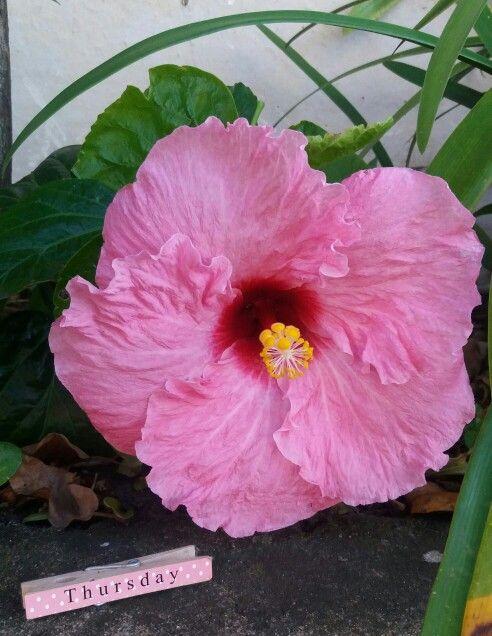 Hibiscus in my garden...