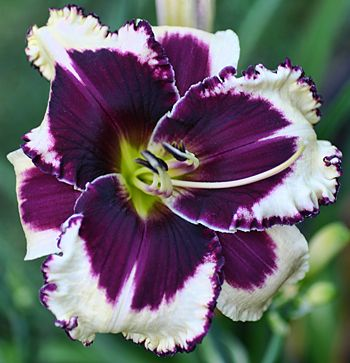 "Wine and Lace '12  (6-231A) is a distinctive near white cream with a large plum eye and bubbly  picote edge accented by a yellow to green throat. Best seedling at the 2008 Delaware   Valley Daylily Society  show. M,  29"", 5 ½"", three-way branching, 13 buds.  Fertile both ways. EMO, Re, Sev., Tet., Sabine Baur  X Jane Trimmer. Limited……..125.00 SF"