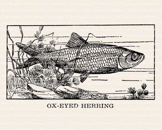 Vintage Herring Image – Fish Illustration from Antique Book – Fish Digital Stamp – Fish Clip Art - Printable Graphic – commercial use OK