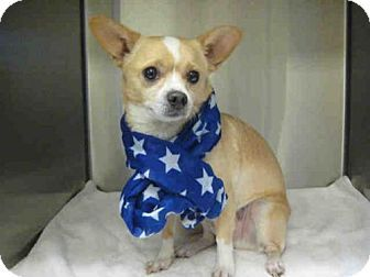 Norco, CA - Pembroke Welsh Corgi/Chihuahua Mix. Meet PORKCHOP, a dog for adoption. http://www.adoptapet.com/pet/16769690-norco-california-pembroke-welsh-corgi-mix