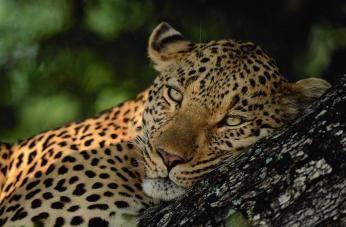 Leopard Safari i Sydafrika