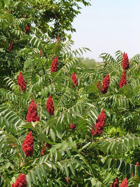 Staghorn Sumac: good plant for feeding birds.