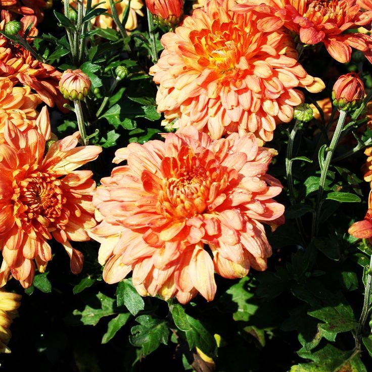 Chrysanthemum Morifolium Tiger Tail Mum