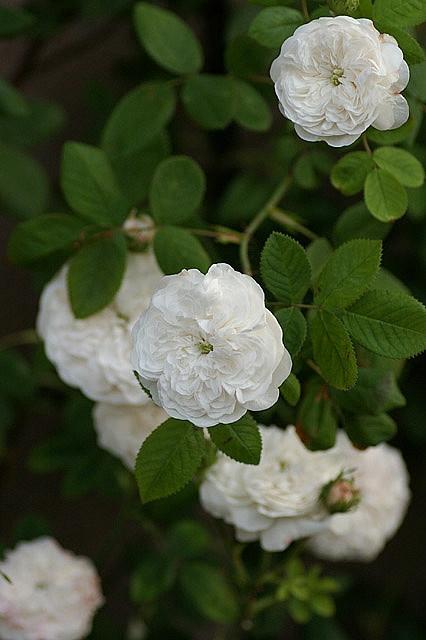 Rosa 'Madame Hardy,' Damask rose.