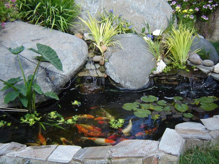 Water lilies lotus louisiana iris bog plants tropical for Ornamental fish garden ponds