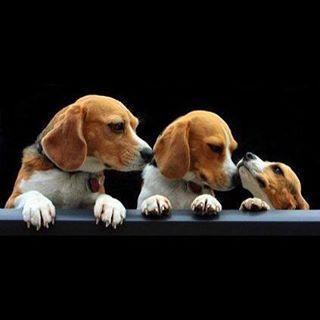Cerco un cucciolo di beagle in regalo
