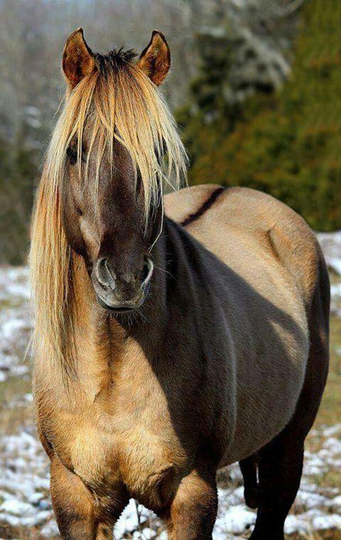 Beautiful Norwegian Fjord horse.